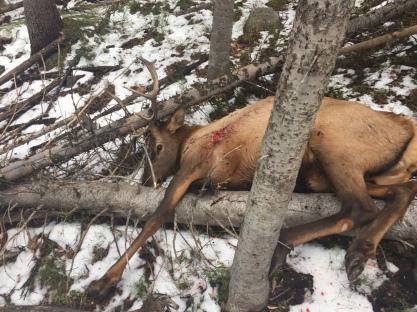 aaron-p-bull-elk-oct-242016