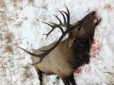 Aaron P - Bull Elk Nov 3, 2019(4)
